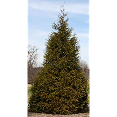Healthy Plants– Potted Plant - Super Roots - 3 Pack - Green Giant Arborvitae Tree : Garden & Outdoor