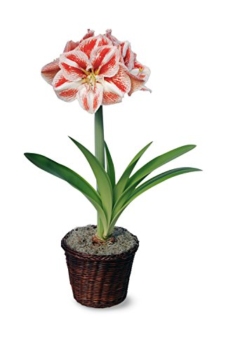 Hallmark Flowers Bicolor Amaryllis Bulb In Brown Woven Basket (Plants Amaryllis Flowers And)