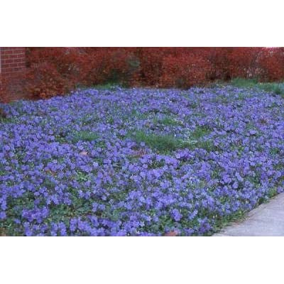 Classy Groundcovers, Periwinkle 'Traditional' Common/Creeping Periwinkle/Myrtle, Creeping Myrtle (54 Pots, 2 1/2 inches Square) : Garden & Outdoor