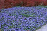 Classy Groundcovers - Periwinkle 'Traditional' Common/Creeping Periwinkle/Myrtle, Creeping Myrtle {54 Pots - 2 1/2 in.}