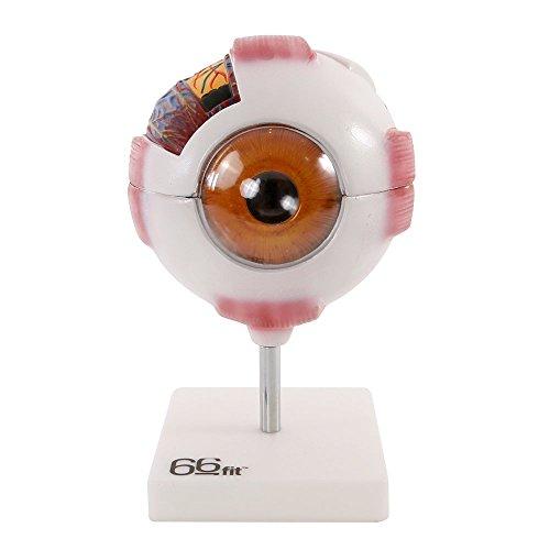 66FIT Human Giant Eye Model – White – Medical Training Teaching Aid, Multicoloured