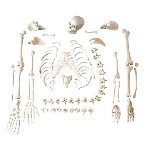 Anatomical Chart Co. Full Disarticulated Budget Skeleton With Skull Item #: CHA5/1 -