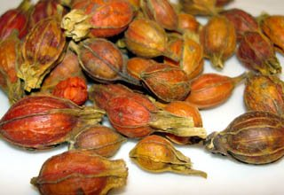 Cape Jasmine or Gardenia Happiness Fruit | Zhi Zi Fruit - Medicinal Grade Chinese Herb 1 Lb - Plum Dragon Herbs