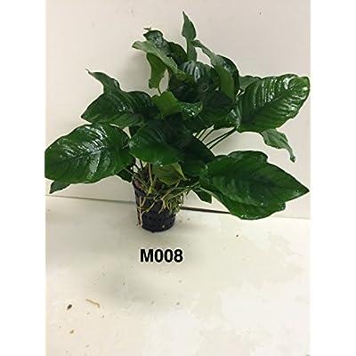 Anubias nana Mother Pot Plant M008 Live Aquatic Plant : Garden & Outdoor