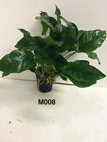 Anubias nana Mother Pot Plant M008 Live Aquatic Plant by Jayco (Image #3)