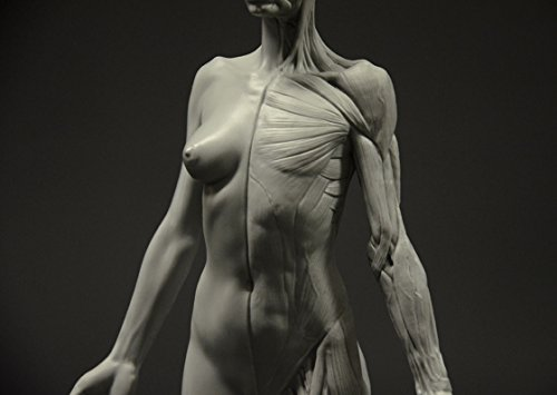 Female Anatomy Figure: 10.5-inch Anatomical Reference for - Import ...