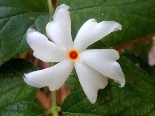 5 seeds of Nyctanthes Arbor Tristis / Fragrant Jasmine - Flower Rare Seeds