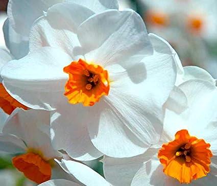 Amazon Com 3 Geranium Daffodils Bulbs Great For Spring Flowers
