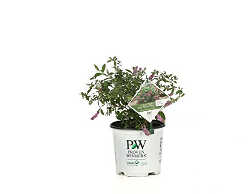 1 Gal. Lo & Behold 'Pink Micro Chip' Butterfly Bush (Buddleia) Live Shrub, Pink Flowers by Proven Winners (Image #9)
