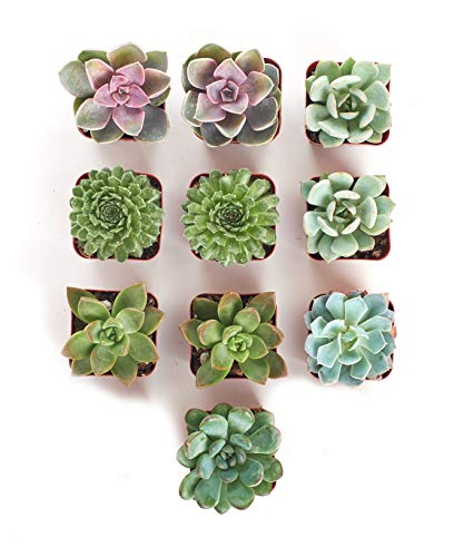 10-pack of hand selected succulents