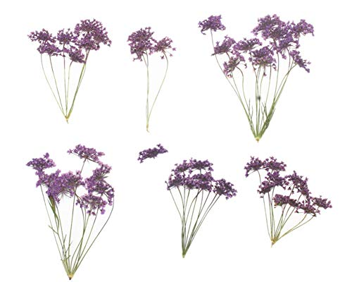 6pcs Natural Real Pressed Dried Flower for DIY Craft Jewelry Making Handmade Resin Ornament 60 Branches (Purple)