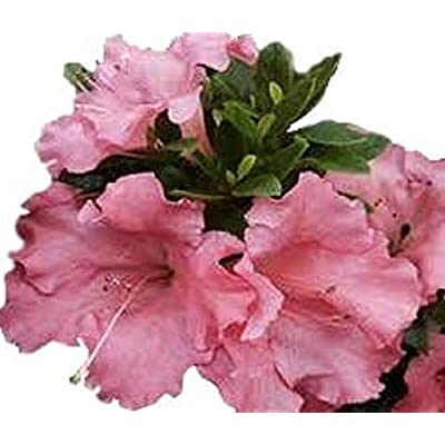Gumpo Pink Dwarf Azalea - Trade Gallon : Garden & Outdoor