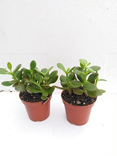 "Two Jade Plant - Crassula Ovuta - Easy to Grow - 2.5"" Pot By Jm Bamboo"