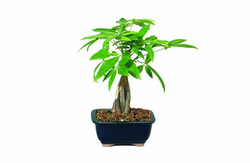 Brussel's Money Tree Bonsai (House Plant Bonsai)