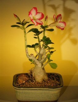Bonsai Boy's Flowering Desert Rose Bonsai Tree - Small Adenium Obesum by By BBNY