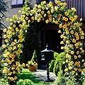 50 Seeds Heirloom Lady Banks Yellow Climbing Rose Flower Seeds bonsai plant home garden