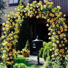 50 Seeds Heirloom Lady Banks Yellow Climbing Rose Flower Seeds Bonsai Plant Home Garden