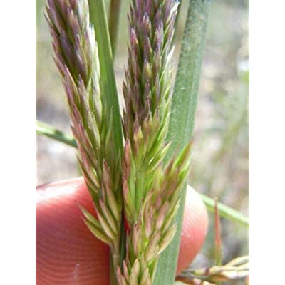 1500 Prairie JUNEGRASS Koeleria Cristata June Crested Hair Grass Flower Seeds : Garden & Outdoor