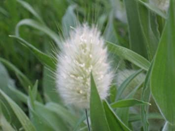 Bunny Tails Ornamental Grass Amazon 100 bunny tails grass hares tail ornamental lagurus 100 bunny tails grass hares tail ornamental lagurus ovatus seeds workwithnaturefo