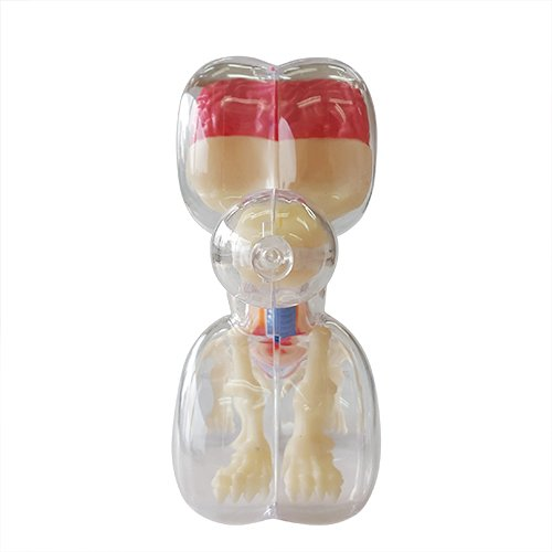 Mini Balloon Dog Skeleton Anatomy Model by Jason Freeny 4D Master FME27560