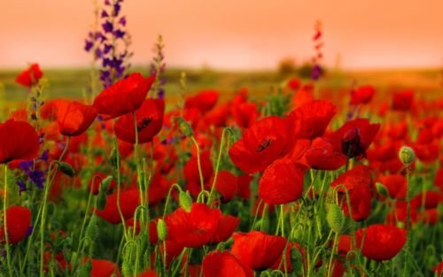 Red shirley corn poppy 12 lb seeds the easy grow bedding flower red shirley corn poppy 12 lb seeds the easy grow bedding flower by mightylinksfo