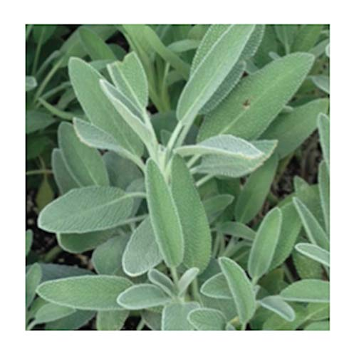 Broadleaf Sage Herb Seeds, 100+ Premium Heirloom Seeds, (Isla's Garden Seeds), Non Gmo, Highest - Sage Broadleaf