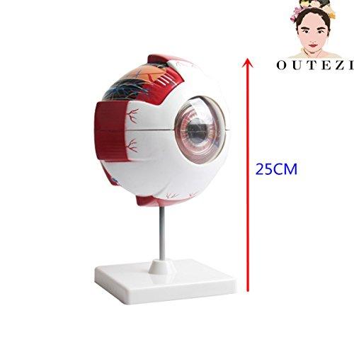 """6X Giant Eye anatomical model large eyeball structure model teaching medical demonstration model 6.3""""5.9""""9.84"""" by FENHAR"""