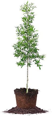 Willow Oak Shade Tree 4-8