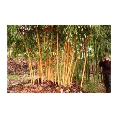 1 Foot AllGold Bamboo Rhizome Plant : Garden & Outdoor