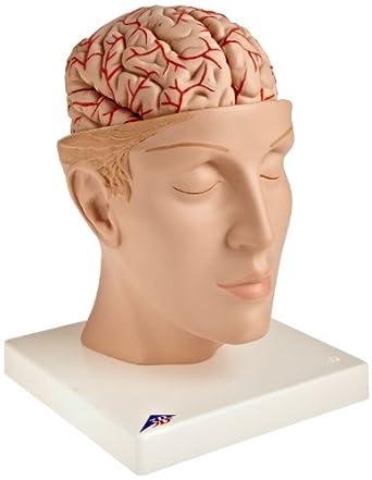 3B Scientific C25 8 Part Brain with Arteries on Base of Head Model ...