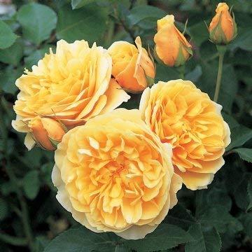 David Austin English Roses Graham Thomas