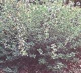 Thyme Summer Thymus praecox 5,000 seeds