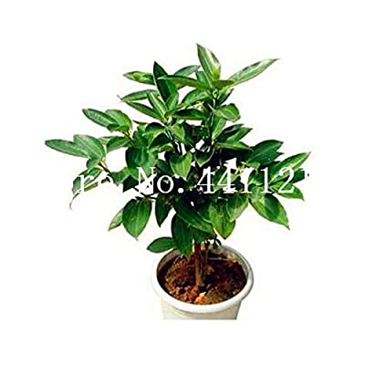 Pinkdose 5 Pcs Japanese Cinnamon Tree Dwarf Trees Bonsai Indoor Bonsai Pot Container Home Garden Supplies Plant: Garden & Outdoor