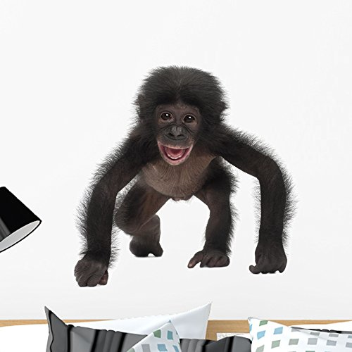 Wallmonkeys WM183316 Baby Bonobo Pan Paniscus 4 Months Old Peel and Stick Wall Decals (24 in W x 22 in H), (Best Nature Of Bonobos)