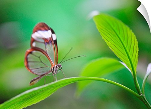 Canvas On Demand Wall Peel Wall Art Print entitled Glass wing butterfly relaxing on fresh green leaf by Canvas on Demand