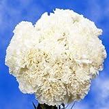 GlobalRose 300 Carnations White Long Carnation Flowers Wholesale
