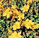 Hypericum - Calycinum Rose of Sharon - 40 Seeds