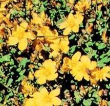Amazon Hypericum Calycinum Rose Of Sharon 40 Seeds