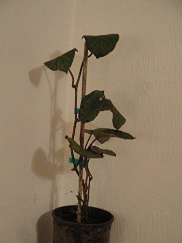 Actinidia deliciosa, Fuzzy Male Kiwi vine. Live plant to 1'-2' tall by Maya Gardens, Inc. (Image #3)