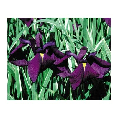 Japanese Variegated Iris, a Great Live Pond Plant for Your Water Garden. Filters The koi and Goldfish Pond. Good for Bogs, Plant Shelf or Shallow Water This marginal Aquatic is a Real Beauty. : Garden & Outdoor