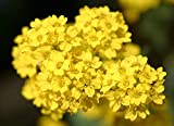Plentree (500) Alyssum Gold Flower Seeds - Aurinia Saxatilis