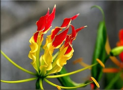 (3 Plants Bulbs GLORIOSA SUPERBA Glory lily Flame lily Flower + FREE PHYTO Flower Fresh & Viable From Garden)