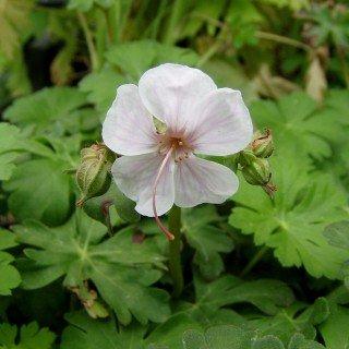 Storchschnabel Geranium x cantabrigiense   Biokovo