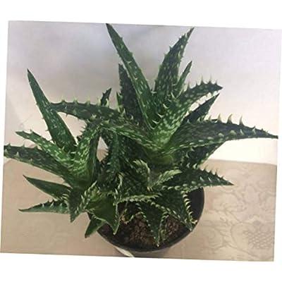 """TEE 1 Bare Root Succulent Plant. Medium Aloe""""Minnie Belle"""" - RK69 : Garden & Outdoor"""