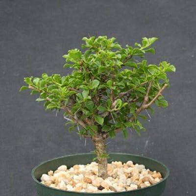 """Toyensnow - Pereskia portulacifolia, Specimen Cacti Plant Cactus (6"""" Pot) : Garden & Outdoor"""