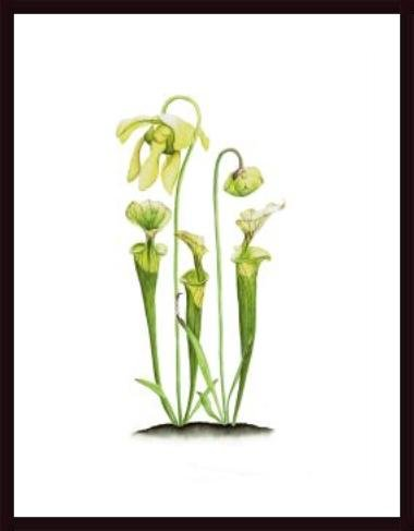 yellow pitcher plant - 6