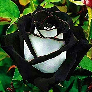 5 Rose Black Rose with White Red Edge Flower Beautiful Rose Petals Plant Pot for Home Garden 100 Pcs//Bag