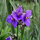 Ohio Spiderwort Flower Seeds (Tradescantia Ohiensis) 50+Seeds