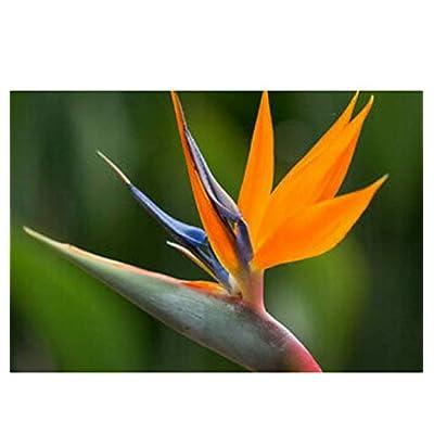 1 Live Plant Beautiful Bird of Paradise Flower - BGR122 : Garden & Outdoor