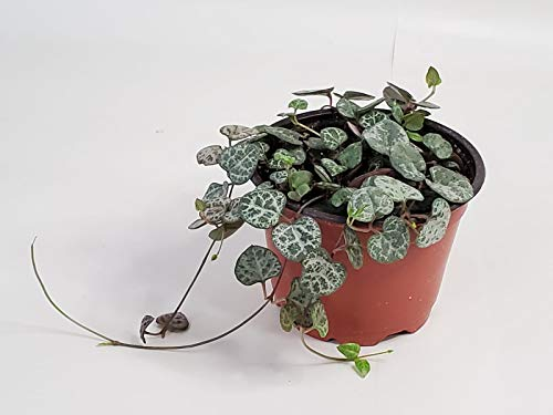 String of Hearts Plant (Non-Variegated) - 4'' from California Tropicals